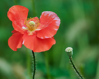 Red Poppy. Image taken with a Nikon D850 camera and 200-500 mm f/5.6 VR lens