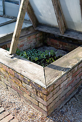 Brick coldframe with ammi, cerinthe and calendula plants ready to go into the garden