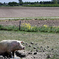 Nederland,Hedel ,2 mei 2007..Een tevreden varken buiten in de modder. A happy pig in the mud.