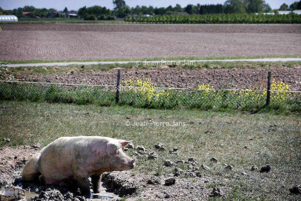 Nederland,Hedel ,2 mei 2007..Een tevreden varken buiten in de modder. A happy pig in the mud.