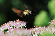 China - Hummingbird Moth - 08 Oct 2016