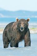 Alaska. Katmai National Park, Kukak Bay tributary. Brown bear (Ursus arctos) fishing.