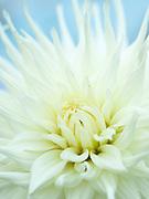 Dahlia 'White Star' - semi-cactus dahlia
