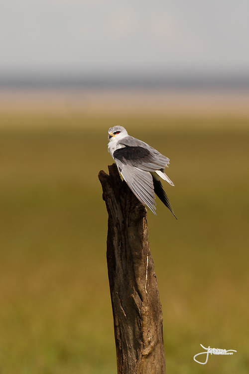 Black-shouldered Kite, Svartvingad Glada, Elanus caeruleus, watching in Simba Kopjes, Serengeti National Park, Tanzania, Africa
