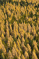 Yellow tamarack Larch (larix laricina)forest in the Umatilla National Forest, OR, USA