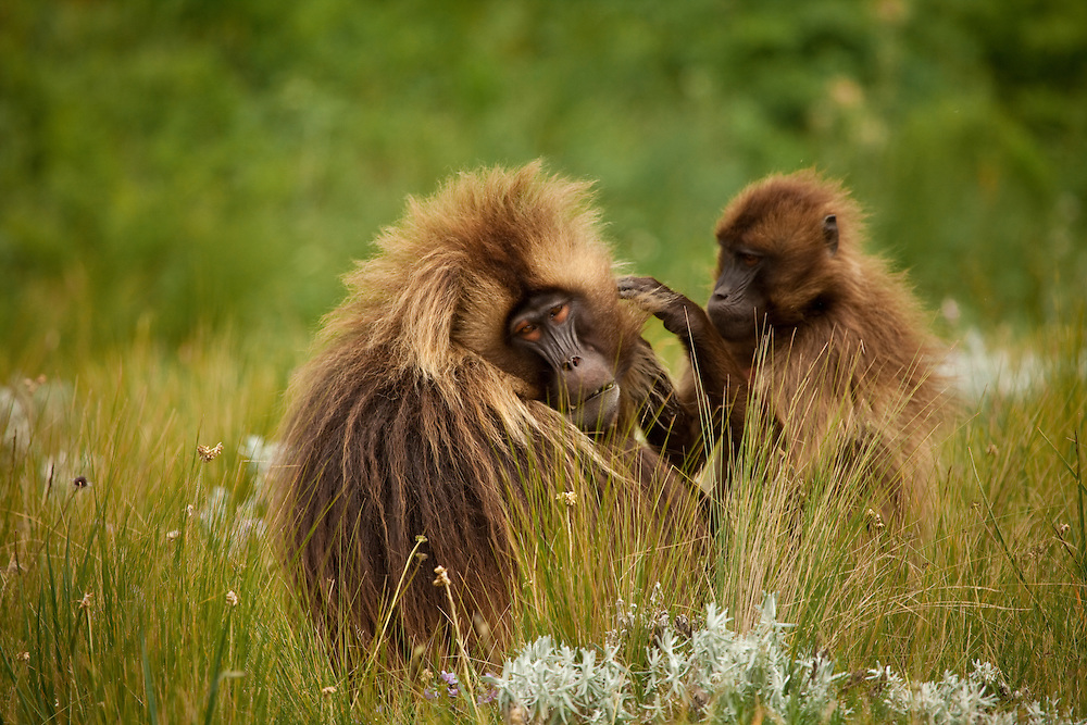 Male gelada baboon, Theropithecus gelada, being groomed by a smaller female
