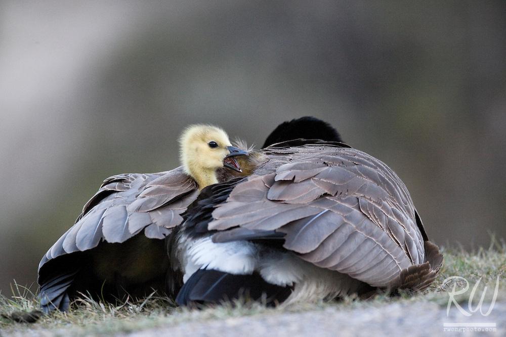 Canada Goose (Branta canadensis) Mother Keeping Baby Chicks Warm at Night, Banff National Park, Alberta, Canada