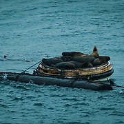 Sea lions floating off the shores of Northeast Tacoma, WA