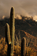 Sunset colors the sky on a stormy winter day in the Santa Catalina Mountains in Coronado National Forest in the Sonoran Desert, Oro Valley, Arizona, USA.  Saguaro cactus (Carnegiea gigantea) and ocotillo grow along the 50 Year Trail.