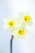Narcissus 'Minnow' - daffodil
