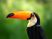 Closeup portrait of a Toco Toucan. Photo by Brandon Alms Photography