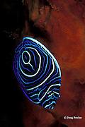 juvenile emperor angelfish, Pomacanthus imperator, Bali, Indonesia