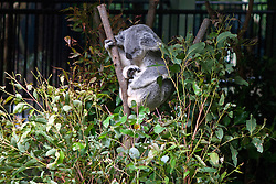 Koala (Phascolarctos cinereus) sleeping in Eucalyptus branches at The Australia Zoo, Beerwah, Queensland, Australia