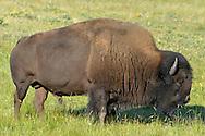 Bison - Bison bison bison. Waterton, Canada.