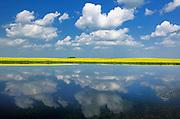 CLouds reflected in prairie slough with canola crop<br /> Near Wynyard<br /> Saskatchewan<br /> Canada