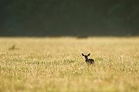 Sttenbok ram standing in a farm field at dawn, Overberg, Western Cape, South Africa