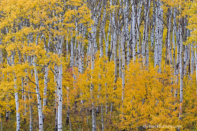 Aspen grove in peak fall color in Glacier National Park in Montana