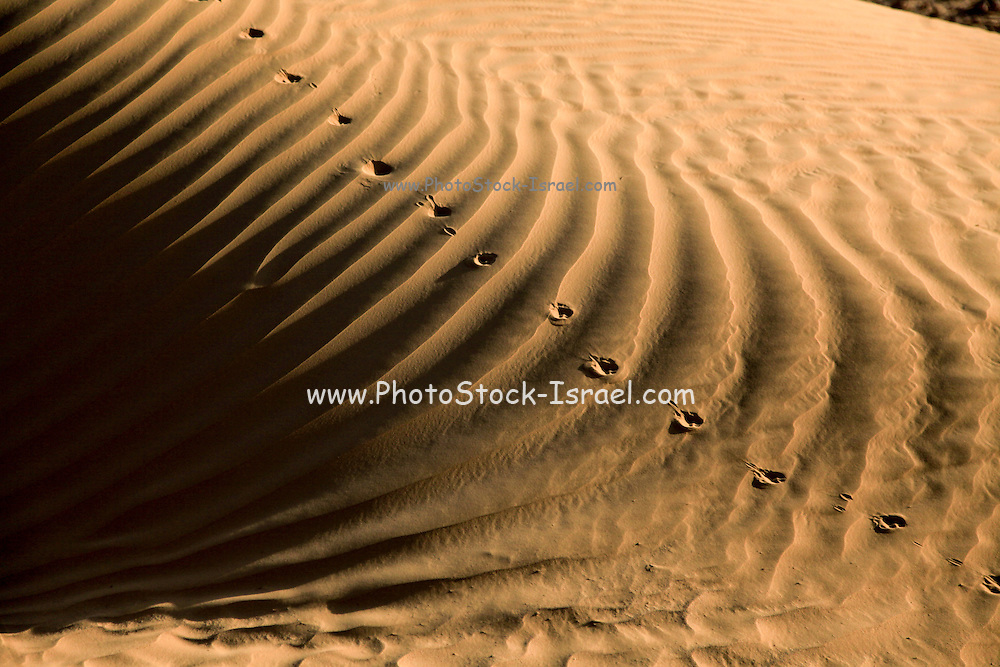 Animal tracks on a sand dune Photographed in Israel