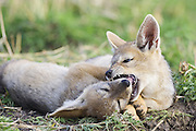 Black-backed Jackal<br /> Canis mesomelas<br /> 6 week old pup(s) playing<br /> Masai Mara Triangle, Kenya