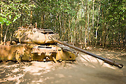 10 MARCH 2006 - CU CHI TUNNELS, VIETNAM: A destroyed American tank on display at the Cu Chi Tunnel Museum in Cu Chi, Vietnam. The tunnels are famous because the communist forces who lived in the area and dug the tunnels were able to withstand near constant American bombings and attacks during the Vietnam War (which is called the American War in Vietnam). The tunnels are also an important tourist attraction, drawing thousands of visitors a month. The tunnels are only about 30 miles from downtown Ho Chi Minh City (formerly Saigon) and fall within the city limits of Ho Chi Minh City.   Photo by Jack Kurtz
