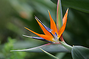 Bird of Paradise, Kula Botanical Gardens, Maui, Hawaii<br />