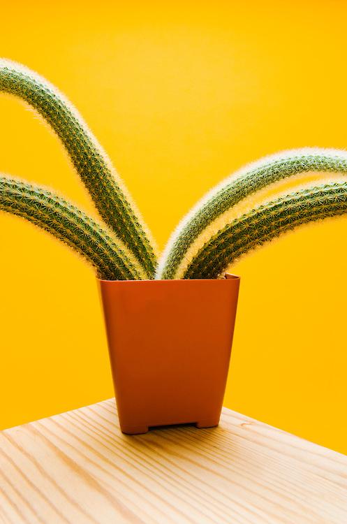 Studio shot of a cactus in a plastic pot.  Hildewintera Aureispina.