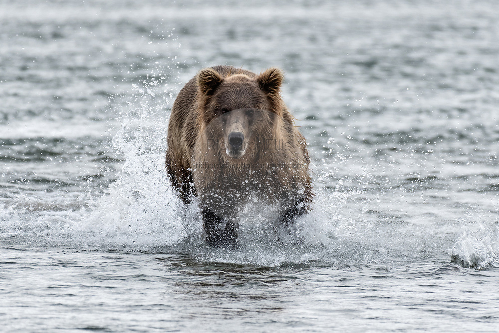 A grizzly bear sub-adult chases chum salmon in the lower lagoon at the McNeil River State Game Sanctuary on the Kenai Peninsula, Alaska. The remote site is accessed only with a special permit and is the world's largest seasonal population of brown bears.