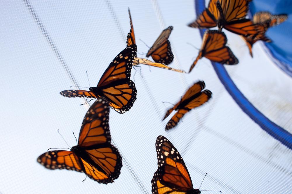 Monarch butterflies in flight at Tyler Arboretum in Media, Pa.