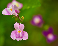 Small Pink Wildflower. Image taken with a Nikon D850 camera and 105 mm f/2.8 VR macro lens