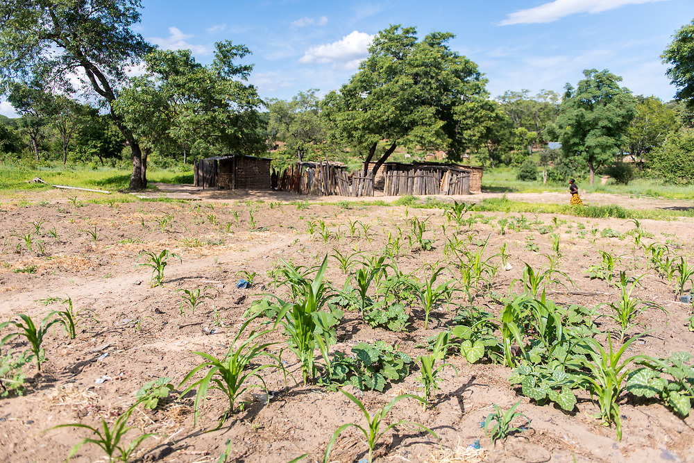 Young corn crop sprouting through the earth in a village in Livingstone, Zambia