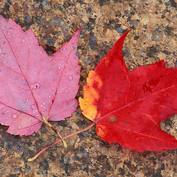 Bartlett, NH..Red maple, Acer rubrum, leaf in fall.  Along the Saco River.  White Mountain N.F.