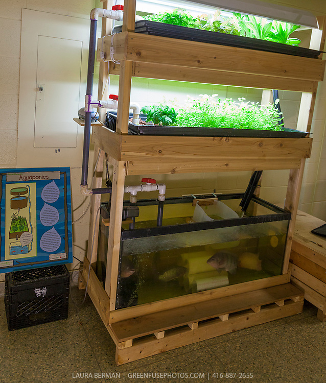 Salad greens, vegetables and tilapia fish in the tiers of an indoor  aquaponic growing system.