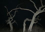 eerie dead trees at night on Jekyll Island beach