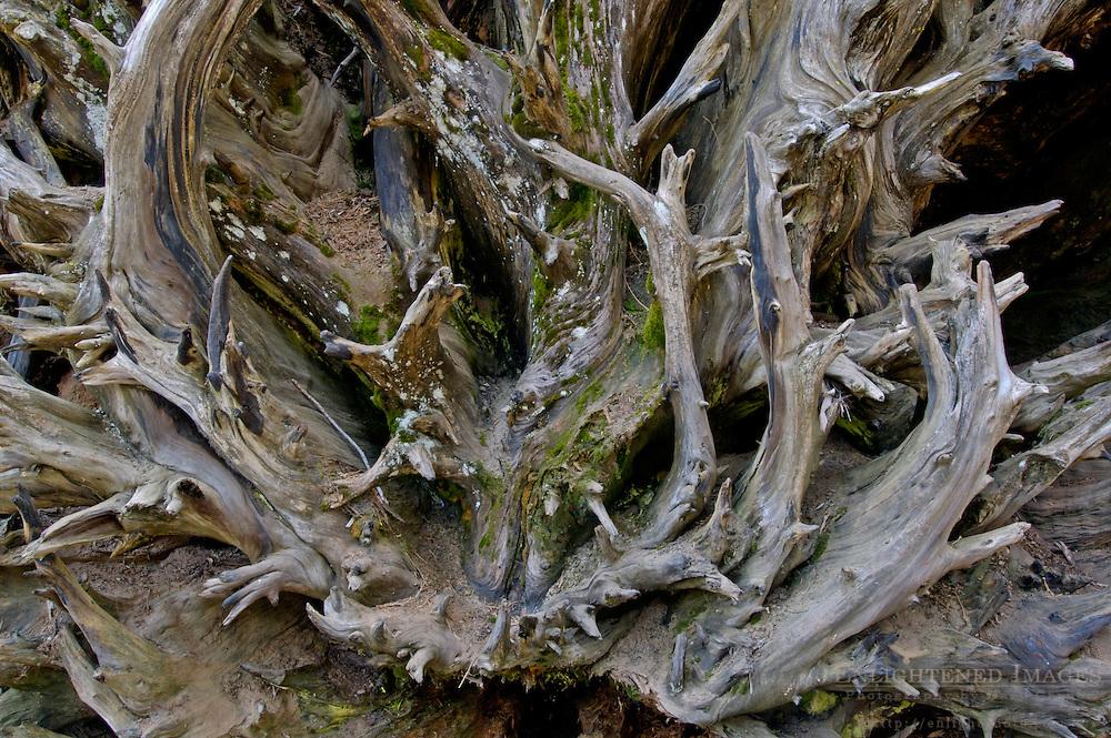 Roots on fallen Giant Sequoia Tree Sequoiadendron giganteum, Congress Trail, Giant Forest, Sequoia NP, California