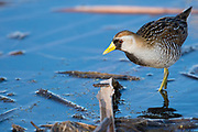Sora, Porzana carolina, Saginaw County, Michigan