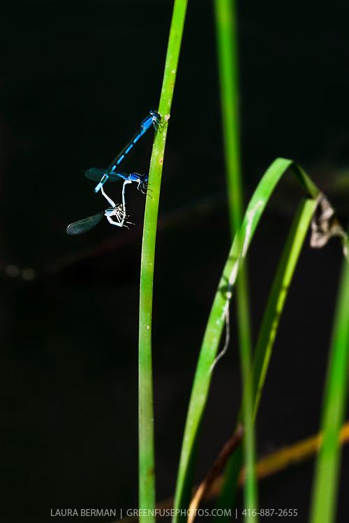 Damselflies mating in a wetland.