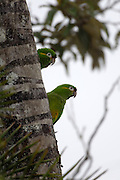 Cerro Tapichalaca Reserve - Monday, Jan 07 2008: Two Golden-plumed Parakeets (Leptosittaca branickii) perch on a tree in the Cerro Tapichalaca Reserve near Podocarpus National Park. (Photo by Peter Horrell / http://www.peterhorrell.com)