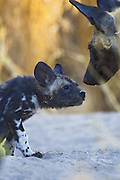 African Wild Dog <br /> Lycaon pictus <br /> Adult with 6-8 week old pup<br /> Okavango Delta, Botswana