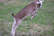 Ein kleiner Ziegenbock springt im Frühling auf einer Weide im Wendland herum. a young he-goat enjoy the day.
