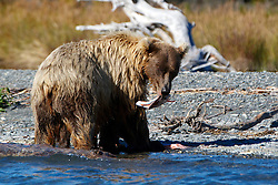 North American brown bear /  coastal grizzly bear (Ursus arctos horribilis) sow eating a salmon along the banks of Skilak Lake / the Kenai River, Kenai National Wildlife Refuge, Alaska, United States of America