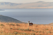 Female Pronghorn (antelope) in habitat with lake (reservoir) in the background.