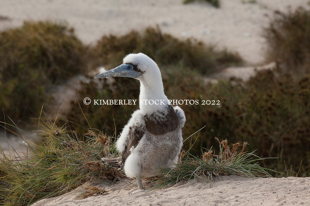A Brown Booby chick (Sula leucogaster) on the Lacepede Islands to the north of Broome.