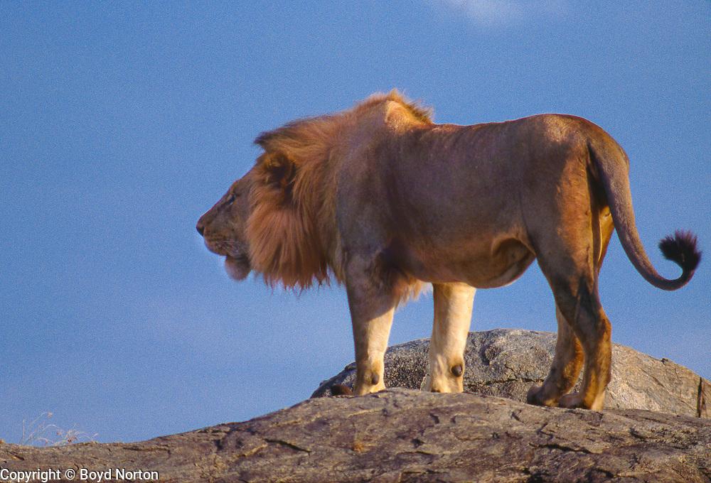 Male lion on kopje roaring