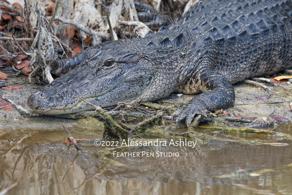 American alligator suns its head and shoulders at water's edge. Merritt Island NWR on Florida's Atlantic coast.