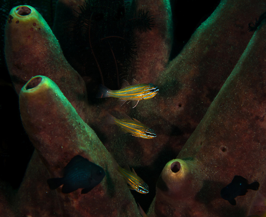 Fish make their way through pipe coral. In the Philippines, muck divers head straight to Dauin to begin the hunt. It is considered one of the premier muck diving locations on the planet. On a bad day at Dauin, you can spot more rare animals than a decade out on the reef...