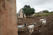 Goats are bred in an abandoned mine village in Sulcis Iglesiente.