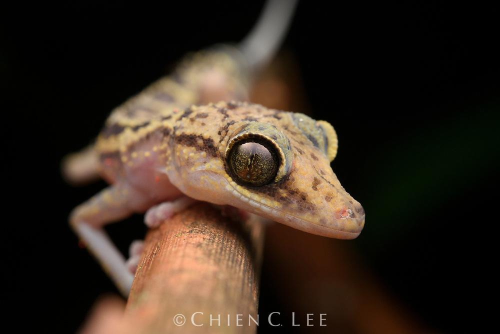 Graceful Madagascar Ground Gecko (Paroedura gracilis). Marojejy National Park, Madagascar.