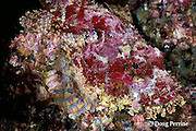Pacific spotted scorpionfish, Scorpaena mystes, Galapagos Islands, Ecuador,  ( Eastern Pacific Ocean )