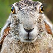 A Blacktailed Jack Rabbit stares gazingly at photographer Jay Goodrich.
