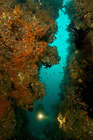 Diving guide Graham Abbott explores an underwater rock wall for unique marine life at the Pisang Islands..Pisang Islands, W of Fak Fak Peninsula.
